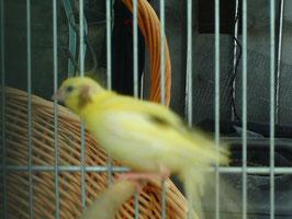 otro pio amarillo