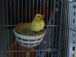 Pollo Fife Amarillo 20 dias