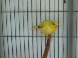 fife amarillo