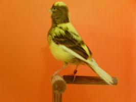Hembra pia amarilla 2009