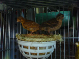 2 Pollos Fife