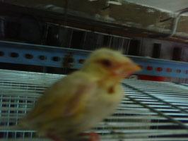 Pollo verderon Lutino 15 dias