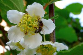 männliche Kiwiblüte mit Biene Befruchtung