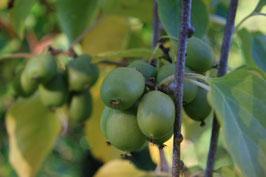 Reife Kiwibeeren an der der Kiwipflanze