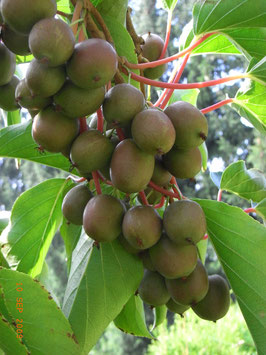 Kiwibeeren - Traubenkiwi an der Kiwipflanze - Kiwipflanzen