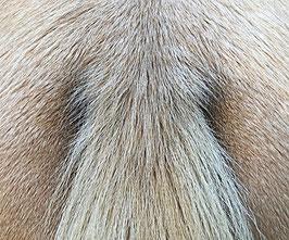 Treidelhof Alhaja -  Durch das Smutty-Gen hervorgerufene deutliche Einstreuung von schwarzen Schweifhaaren