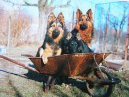 Chodenländer Hund