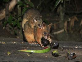 Possums beim BBQ