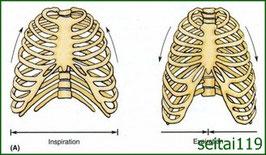 肋骨の運動