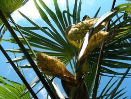 Palmenblüte 1.6.2009
