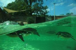 Pinguine wieder im Tiergarten