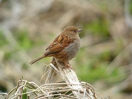 ・2007年3月24日 北本自然観察公園  ・一度、3羽とも飛び去ったが、暫くして、一番最初にもどってきたカヤクグリ。この場で、ジッと、あとの2羽を待っていた。