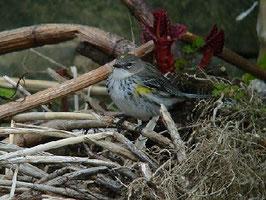 ・2010年3月29日 湘南海岸  ・夏は北の針葉樹林帯、冬は、平地の公園やリバーサイドに移動するという。夏羽では、もっと黒くなるが、本個体は冬羽らしい。