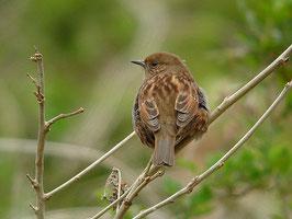 ・2007年3月24日 北本自然観察公園  ・学習センタ裏の藪。3羽のカヤクグリとアオジが張り合っていた。