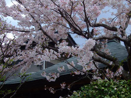 護摩堂前の桜です!