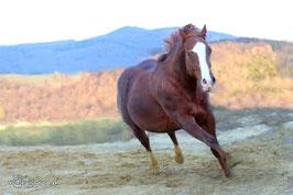 Suri das Rennpferd