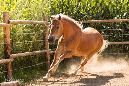 Die Fotovorlage fürs Pferdegemälde von Haflinger Anni