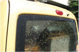 Bienen im Auto