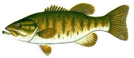 pêcheur de bass