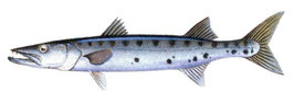 pêcheur de barracuda
