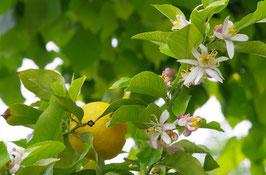 GM Zitrone Artikelnummer: 383
