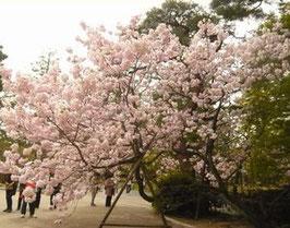 御所前の桜