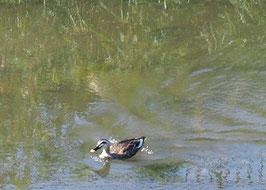 ●武蔵野の森公園からは、野川遊歩道に出て調布のやさい畑へ向かいます。野川の鴨を発見