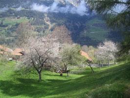 Prader Kirschblütenzeit