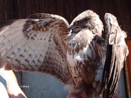 Greifvogel in unserer Vogelstation