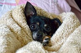 Un chien chihuahua noir âgé emmitouflé dans une couverture beige par coach canin 16 éducateur canin charente