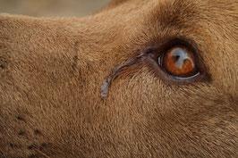 L'oeil d'un chien marron clair qui pleure par coach canin 16 dressage chien angouleme