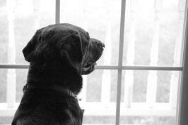 un chien labrador noir regarde par la fenêtre par coach canin 16 educateur canin angoulême