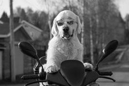 un chien golden retriever blanc assis au guidon d'une moto des lunettes sur le museau par coach canin 16 educateur canin charente