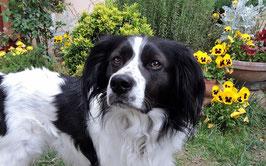 Un chien noir et blanc à poil long au milieu de pensées jaunes par coach canin 16 educateur canin charente