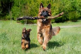 Un chien berger allemand adulte courre avec un bout de bois dans la gueule, un chiot berger allemand courre à côté de lui par coach canin 16 educateur canin à domicile charente