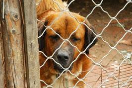 Un chien adulte de grande taille et de forte corpulence marron clair derrière un grillage par coach canin 16 éducateur canin en charente