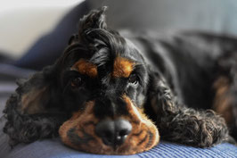 Un chien cocker noir et fauve couché sur le ventre. Sa tête posée entre ses pattes avant. Une petite houppette de poils au haut de sa tête par coach canin 16 educateur a domicile angouleme