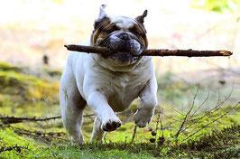 chien bouledogue anglais court en tenant un bâton dans sa gueule par coach canin 16 dressage chien angoulême, cognac