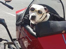 Un chien dogue argentin au volant d'une voiture décapotable rouge par coach canin 16 educateur canin charente