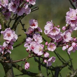 Heypfalz bietet Mandelblütenwanderungen an