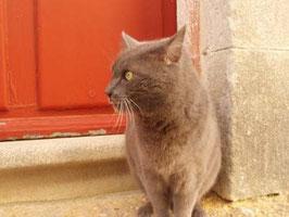 ハンサムな銀猫