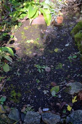 Ein Rharbarber-Beet im Oktober (Planzen haben sich schon vollständig zurückgezogen) vor (links) und nach dem Mulchen (rechts) mit gemischtem Laub.