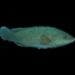 Labrus merula
