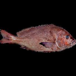 Plectorhinchus mediterraneus