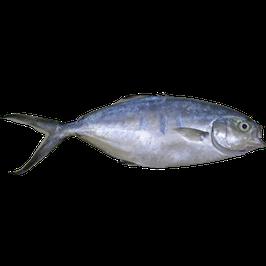 Trachinotus ovatus