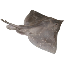 Dipturus batis