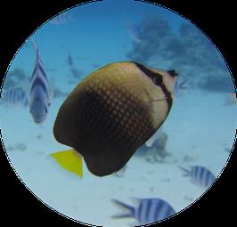 cute tahitian butteflyfish in Bora Bora coral garden