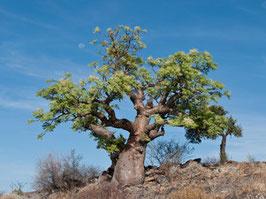 Foto: Moringa Oleifera Baum in der freien Natur