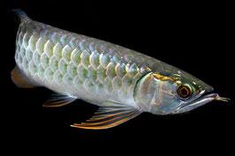 「過背金龍」はその美しい色彩から、金運アップをもたらす縁起の良い魚として人気が高い(「まっかちん」HPより)