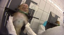 Ein Affe wird im dem Hamburger Labor für Giftigkeitstests fixiert. Foto: obs/SOKO Tierschutz/crueltyfree